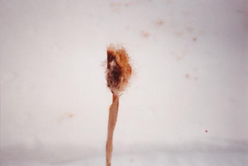 Pollen frigorifié