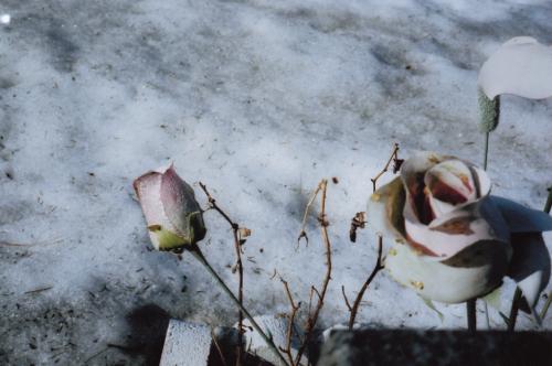 Roses roses en bois